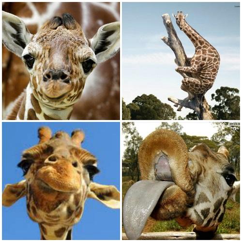 427_2954-girafas